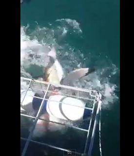 ホオジロザメが襲いかかる